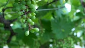виноградник : Zoom out footage of young green grape on grapevine in farm.