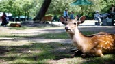 fawn : Young Deer in  park,Kansai,Japan. In spring season.