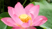 waterlily : Pink Lotus in the marsh in morning