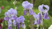 nobre : Beautiful and noble purple iris swaying in the breeze. Stock Footage