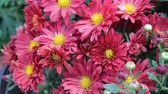 guloseima : The garden blooming bright red Daisy Stock Footage