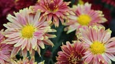 guloseima : In full bloom in the garden of bright pink daisy Stock Footage