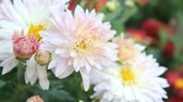 guloseima : Bright blooming pink white daisy close-up Stock Footage