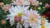 guloseima : Bright blooming pink white daisies close-up