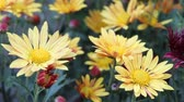 guloseima : Bright blooming yellow daisies close-up