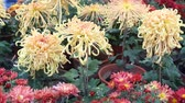 guloseima : Beautiful outdoor blooming golden Cologne must Chrysanthemum