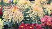 guloseima : Beautiful outdoor blooming chrysanthemum swaying in the breeze in Cologne to