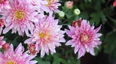 guloseima : The garden blooming bright pink daisy