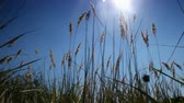 wild grass growing in a field of the sun and breeze Dostupné videozáznamy