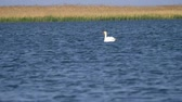 waterbird : The mute Swan bird (Cygnus olor) floats on the lake on a Sunny summer day.