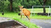 csikó : The female deer is eating grass in the park office area