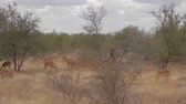 pack : CIRCA June 2013 - NELSPRUIT, KRUGER NATIONAL PARK ,SOUTH AFRICA - a large pack of impala in the woods