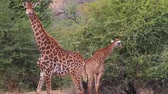 żyrafa : NEILSPRUIT,SOUTH AFRICA - CIRCA February 2015:2 angles - 2 Giraffes walking towards camera