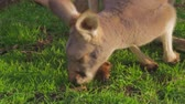 wild : a close shot of two white kangaroos sniffing the ground Stock Footage