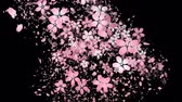 Cherry blossoms and flower petal are blooming along the trajectory, in black background Stock Footage
