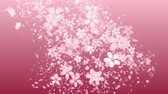 Cherry blossoms and flower petal are blooming along the trajectory, in pink background Stock Footage