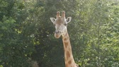 жираф : Close-up of a giraffe in front of some green trees Стоковые видеозаписи