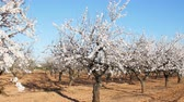 mandeln : Plantation of flowering almonds