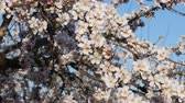 motýlek : Flowering of almond flowers in the spring time on the plantation
