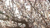 fragilidade : Flowering of almond flowers in the spring time on the plantation