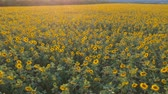 insemination : Agriculture concept. Aerial shooting field of sunflowers in summer. Stock Footage