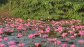 bird family walking on the pink lotus in tropical lake Vídeos