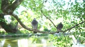 Two dove living on the tree branch Vídeos