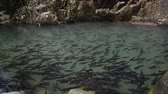 many fish in waterfalls, time-lapse Vídeos