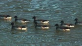 estados unidos : A gaggle of Brant (Branta bernicia) geese swim in the Hudson River on a cold spring morning.