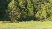 dumanlı : A large bull Elk watches over his grazing harem in Cataloochee Valley in Great Smoky Mountains National Park. Stok Video