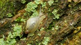 caracol : A small Oval Ambersnail (Novisuccinea ovalis) moves slowly up the side of a lichen covered tree trunk in spring.