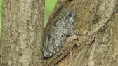жаба : A Gray Treefrog (Hyla versicolor) perches in the crotch of a Black Locust tree in spring. Numerous Springtails (Hypogastrura sp.) can be seen moving about the bark of the tree.