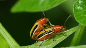 astarlı : A pair of Three-lined Potato Beetles (Lema daturaphila) mate on a Bittersweet Nightshade leaf in spring.