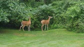 cervidae : Two female (does) White-tailed Deer (Odocoileus virginianus) feed on vegetation in a suburban backyard on a rainy morning. Stock Footage