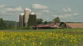 girassol : Time-lapse view of sunflowers (Helianthus annuus) swaying in the wind with farm buildings in the background.