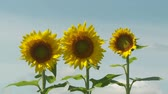 girassol : Sunflowers (Helianthus annuus) sway in the wind against a blue sky and a few passing clouds. Stock Footage