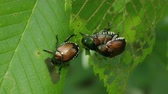 каркасный : Japanese Beetles (Popillia japonica) perch on a skeletonized leaf. Стоковые видеозаписи