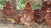 phasianidae : Domesticated chickens in a chicken coop on a farm. Stock Footage