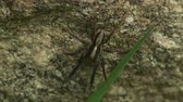 estados unidos : A male Wolf Spider (Schizocosa crassipes) waits for prey. Stock Footage