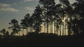сосна : The sun rises behind silhouetted pine trees in Hopkins Prairie, Ocala National Forest, Florida. Стоковые видеозаписи