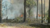 сосна : Florida Park Service staff execute a prescribed burn in the pine flatwoods of Highlands Hammock State Park in Sebring, Florida.  Prescribed burns are used periodically to keep invasive species, such as Cogon grass, in check.
