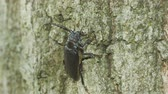 к северу : A female Broad-necked Root Borer (Prionus laticollis) clings to the side of a tree.