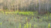 Carnivorous Yellow Pitcherplants (Sarracenia flava var. rugelii) are abundant in this seepage slopewet prairie habitat in Apalachicola National Forest in the panhandle of Florida. Stock Footage