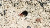 kilitli : Florida Harvester Ant (Pogonomyrmex badius) workers clear the entrance to their nest.