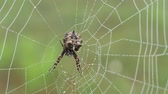 A female Starbellied Orbweaver (Acanthepeira stellata) spider hangs at the center of her dew covered web in the early morning. Stock Footage