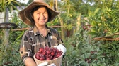 hibisco : 4K Happy Asian senior farmer harvesting organic fresh red roselle in the farm Vídeos
