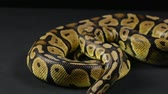ロイヤル : Crawling royal python, head and tongue