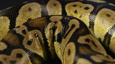 evcil hayvan : Video of snakeskin - crawling python
