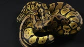evcil hayvan : Video of snakes - two ball pythons Stok Video