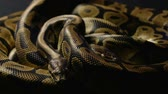 yılan : Two royal ball pythons in shadow